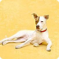 Adopt A Pet :: Annie - Dallas, TX