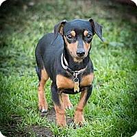 Adopt A Pet :: Nia - San Jose, CA