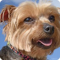 Yorkie, Yorkshire Terrier Dog for adoption in Colorado Springs, Colorado - Cassie