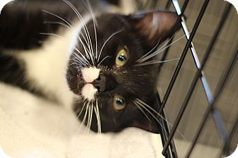 Domestic Shorthair Kitten for adoption in Marietta, Georgia - Clementine