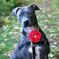 Pit Bull Terrier Mix Dog for adoption in New York, New York - Anya