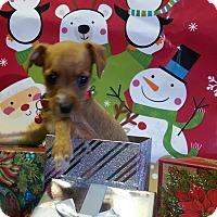 Adopt A Pet :: Chi babies - Pompton Lakes, NJ