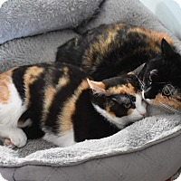 Adopt A Pet :: Figet & Cabernet - Bristol, CT