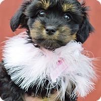 Adopt A Pet :: Lady Charlotte - Denver, CO