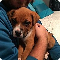 Adopt A Pet :: Sugar Bear - Newport, KY