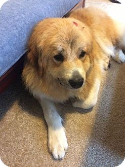 Great Pyrenees Dog for adoption in Seattle, Washington - Victoria - Amazing Great Pyrenees