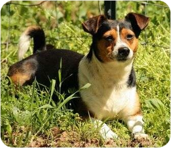 Beagle/Rat Terrier Mix Dog for adoption in Spring Valley, New York - Gizzy