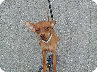 Chihuahua/Miniature Pinscher Mix Puppy for adoption in Miami, Florida - Peanut