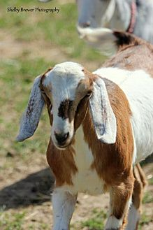Goat for adoption in Mead, Washington - Metta