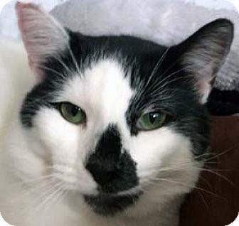 Domestic Shorthair Cat for adoption in Tiburon, California - Simon