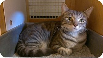 Domestic Shorthair Cat for adoption in Brea, California - GRAVY