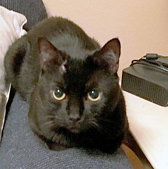 Domestic Shorthair Cat for adoption in Arlington/Ft Worth, Texas - Midnight