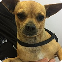 Adopt A Pet :: Chippy the Chi - Miami, FL