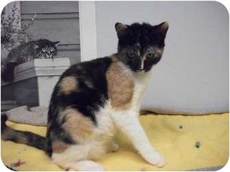 Domestic Shorthair Kitten for adoption in Modesto, California - Megan