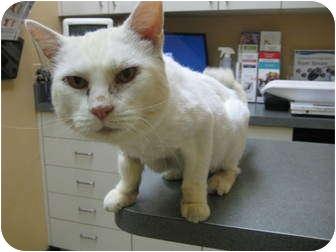 Domestic Mediumhair Cat for adoption in Little Falls, New Jersey - Bella (cevh)