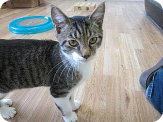 American Shorthair Kitten for adoption in Bunnell, Florida - Jake