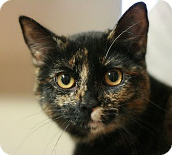 Domestic Shorthair Cat for adoption in Canoga Park, California - Coco