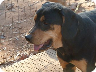 Black and Tan Coonhound Mix Dog for adoption in E Windsor, Connecticut - Sophie