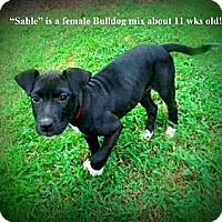 Adopt A Pet :: Sable - Gadsden, AL