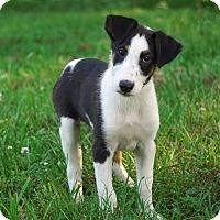 Adopt A Pet :: *Winslow - PENDING - Westport, CT