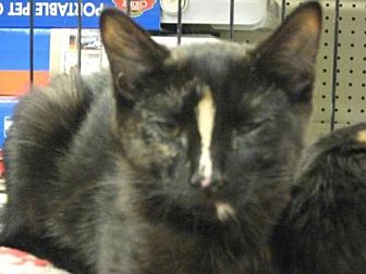 Domestic Shorthair Cat for adoption in Logan, Utah - Louise