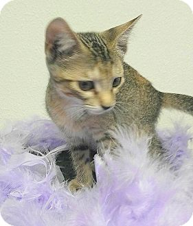 American Shorthair Cat for adoption in Miami Shores, Florida - Dianna