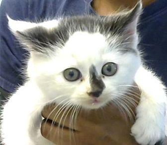 Domestic Mediumhair Kitten for adoption in Decatur, Georgia - Serge-Adopted