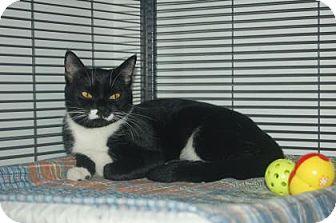 Domestic Shorthair Cat for adoption in Bradenton, Florida - Catfish