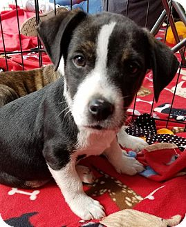 Pit Bull Terrier/Hound (Unknown Type) Mix Puppy for adoption in Canton, Georgia - STUBBS