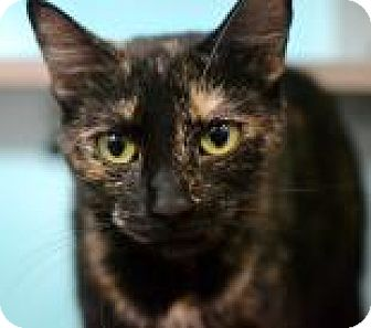 Domestic Shorthair Cat for adoption in New Orleans, Louisiana - Paisley