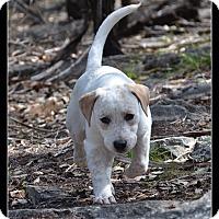 Adopt A Pet :: Puppy Pretty Girl - Austin, TX