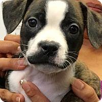 Adopt A Pet :: Bellona CL - Schertz, TX