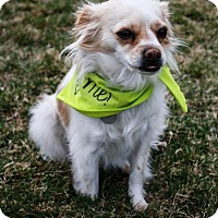 Papillon/Chihuahua Mix Dog for adoption in Spanish Fork, Utah - Bianca