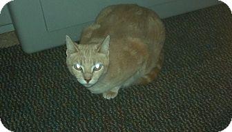 Domestic Shorthair Cat for adoption in Saint Albans, West Virginia - Pebbles
