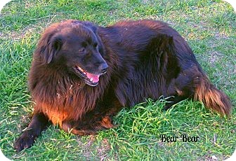 Border Collie/Flat-Coated Retriever Mix Dog for adoption in Eddy, Texas - Bearbear
