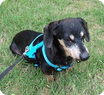 Dachshund Dog for adoption in Decatur, Georgia - Cowboy