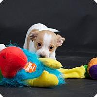 Adopt A Pet :: Boomer - Nuevo, CA