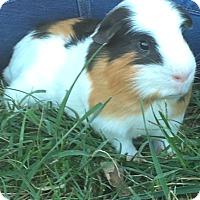 Adopt A Pet :: A-Rod - Manhattan, KS
