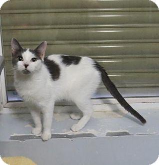 Domestic Shorthair Cat for adoption in Lakewood, Colorado - Midge