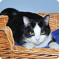 Adopt A Pet :: Domino - Gatineau, QC