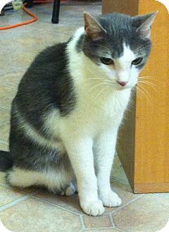 Domestic Mediumhair Cat for adoption in Mobile, Alabama - Pierre