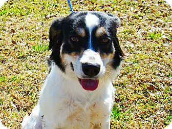 Border Collie/Spaniel (Unknown Type) Mix Dog for adoption in Groton, Massachusetts - Muffin