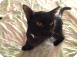 American Shorthair Cat for adoption in Weatherford, Texas - Jade