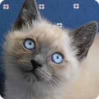Adopt A Pet :: Siam - Davis, CA
