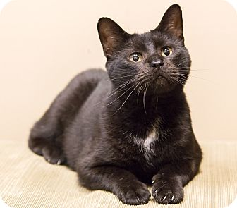 Domestic Shorthair Cat for adoption in Chicago, Illinois - Shadow