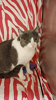 Domestic Shorthair Cat for adoption in Baton Rouge, Louisiana - Icicle