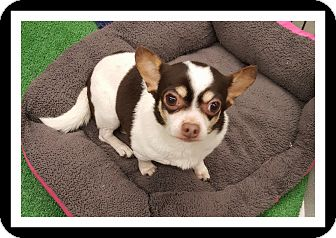 Chihuahua Mix Dog for adoption in Winchester, California - MATILDA