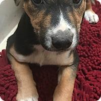 Adopt A Pet :: Jackie - Tucson, AZ