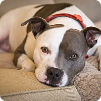 Adopt A Pet :: LADY - Harrisburg, PA