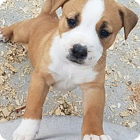 Adopt A Pet :: Rose $250 - Seneca, SC